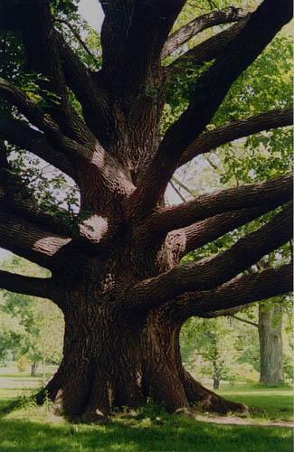 Старото дърво Old_tree_5